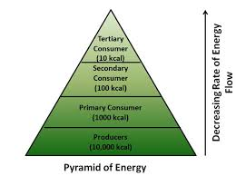 Ecosystem Pyramid Chart Ecological Pyramid Definition Number Biomass Energy