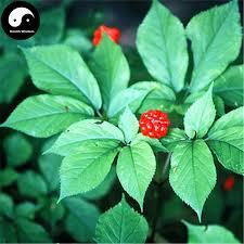 Us 5 99 Buy Korean Ginseng Semente 50pcs Plant Chinese Tonic Herb Panax Ginseng For Gao Li Shen On Aliexpress