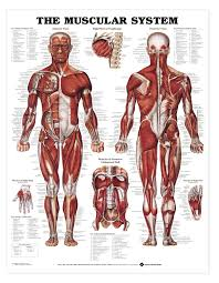 Laminated Anatomical Charts The Muscular System Anatomical Chart
