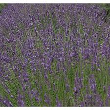 Proven Winner 1-Gallon Lavender