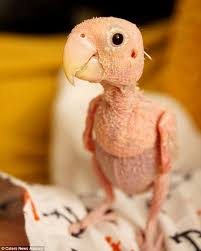 featherless parrot. Wonderful Featherless The Vets Shared Her Story On Facebook  And 23yearold Isabella Eisenmann Inside Featherless Parrot H