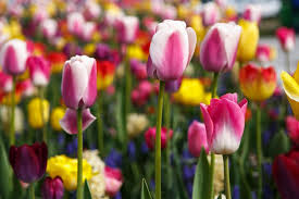 alan titchmarsh the best time of year to plant tulips
