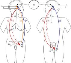 Stages Of Puberty In Males Chart Puberty Wikipedia
