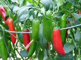 Image result for chili serrano