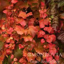 5 Parthenocissus tri 'Veitchii'/Boston Ivy - Bates Nursery and Garden Center