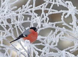winter animal nature backgrounds. Wonderful Nature Bullfinch Tree Cold Winter In Animal Nature Backgrounds