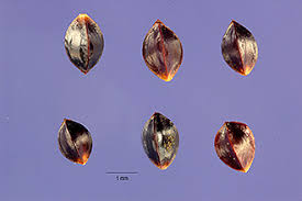 Plants Profile for Rumex acetosa (garden sorrel)