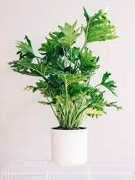the philodendron family includes many successful houseplants there are tall species too for example tree philodendron philodendron oum