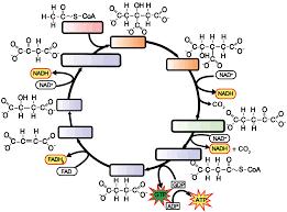Krebs cycle interactive lyrics diagrams and flashcards rh sciencemusicvideos krebs cycle easy understanding krebs cycle