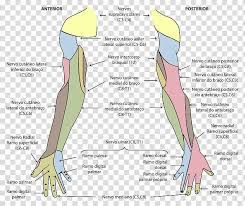 Medial Cutaneous Nerve Of Arm Upper Limb Cutaneous