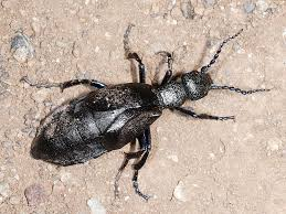 Black Beetle Identification Chart Whats The Difference Between The Violet And Black Oil