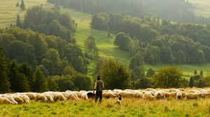 Image result for sheep field