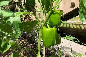 pepper plant panions in the garden