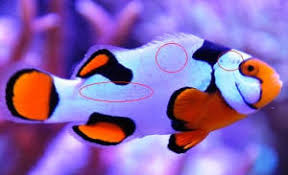 different colored clown fish. Plain Clown In Different Colored Clown Fish R