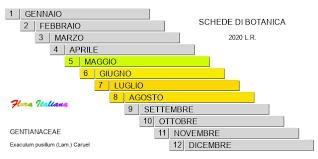 Exaculum pusillum [Cicendia minore] - Flora Italiana