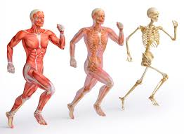 Image result for muscular system images