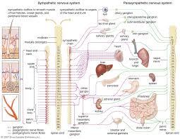 Autonomic Nervous System Divisions Functions Britannica