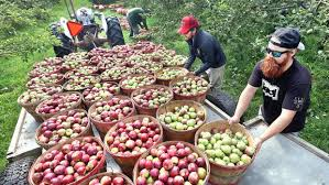 photo essay a bountiful bayfield harvest duluth news tribune sam miller right and dane hauser both of bayfield load bushels of freshly picked mcintosh apples onto a trailer at hauser s superior view farm in