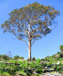Image result for eucalyptus tree