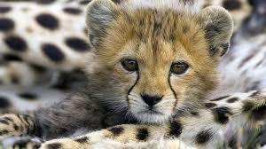 wild baby animal wallpaper. Plain Baby Cute Baby Animal Cheetah Inside Wild Wallpaper L