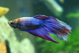 Betta Fish Chart Complete Betta Fish Care Guide Fish Keeping Advice