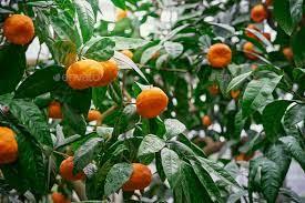 ripe fruits orange fruit tree branch