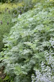 plant catalogs woodland garden to best silver leaf plants for your garden