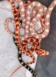 Baby Corn Snakes all CB19 from... - Peter Rice Reptiles | Facebook