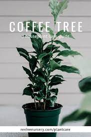 Yes, the arabica coffee plant with its rich, deep green, glossy leaves and easy care make coffee an excellent potted indoor house plant. Coffee Tree Coffea Arabica Houseplant Academy Houseplant Courses And Education For The Indoor Plant Person
