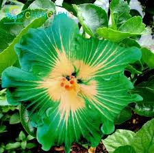 hibiscus flowers amazon com on sale 200pcs hibiscus seeds 24kinds hibiscus rosa