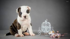 cute pitbull puppies wallpaper. Simple Cute To Cute Pitbull Puppies Wallpaper I