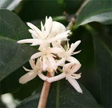 Кофейное дерево арабское coffea кофейное дерево аравийское  Кофейное дерево арабское coffea
