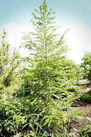 beautiful pine tree in garden stock photo 96640110