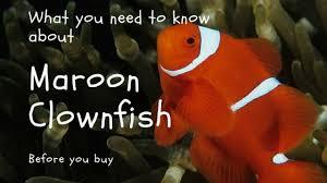Maroon Clownfish What You Need To Know Before You Buy