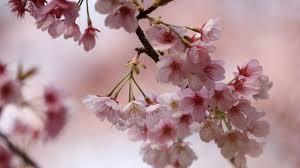 Image result for cerisiers en fleurs en france