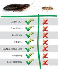 Dubia Roach Growth Chart 52 Best Dubia Roaches Images In 2019 Dubia Roaches