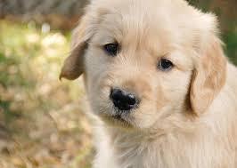 golden retriever pup image for wallpaper