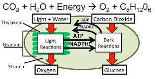 Picture Of Light Reaction Light And Dark Reaction Cigit Karikaturize Com