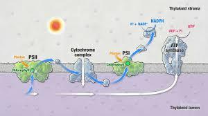 The Light Reactions Worksheet Photosynthesis Part 5 Light Reactions Hhmi Biointeractive Video