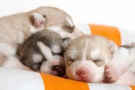 siberian husky newborn puppies. Interesting Puppies Newborn Siberian Husky Puppies In T