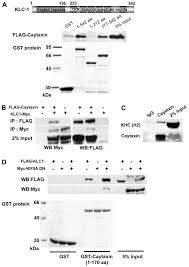 Kinesin Light Chain Antibody Cayman Ataxia Protein Caytaxin Is Transported By Kinesin