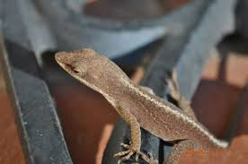 Duncan Duncan South Carolina These Lil Lizards Like To
