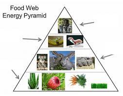 food web pyramid food web energy pyramid purposegames