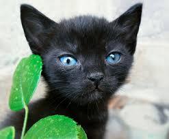 fluffy black kittens with blue eyes. Plain Fluffy Intended Fluffy Black Kittens With Blue Eyes