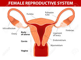 Female Reproductive System Chart Human Anatomy Female Reproductive System Uterus And Uterine