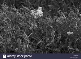 tall green grass field. Wild Purple Flowers In Tall Green Grass, Note Shallow Depth Of Field Grass