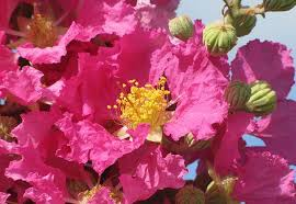 Crape Myrtle Colors Chart A Striking New Crape Myrtle For Floridas Gardens And Landscapes
