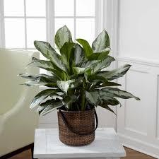 lighting for houseplants. chinese evergreen lighting for houseplants