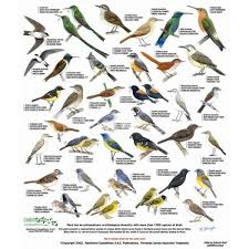 Alabama Birds Identification Chart Cusco Field Guide Of