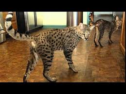 savannah cat chart savannah cat size comparison youtube